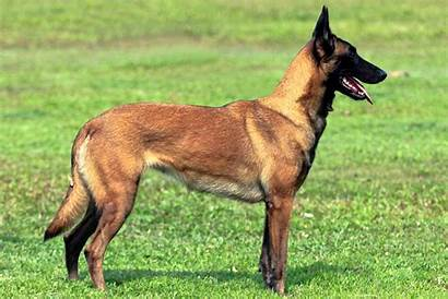 Malinois Belgian Dog Dogs Breeds Puppies Breed