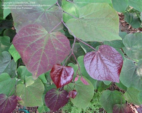 eastern redbud leaf plantfiles pictures eastern redbud canadian redbud judas tree forest pansy cercis