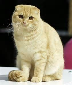 scottish fold cat animal a day scottish fold cat