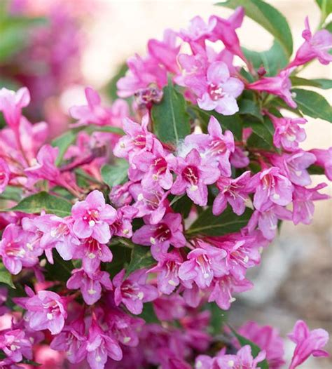 flowering shrubs pink new trees and shrubs for 2013 shrub hot pink and jazz