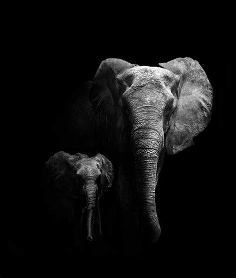 african elephant mother   calf elephant