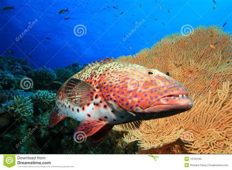 grouper sea coral environment preview