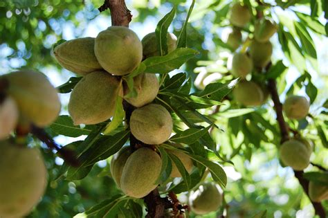 Fruit Trees  In His Time