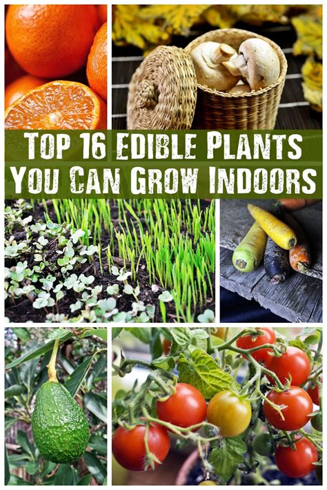 Top 16 Edible Plants You Can Grow Indoors  Shtf Prepping