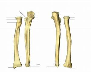 Ulna  Right Ulna And Radius In Relation To The Humerus And