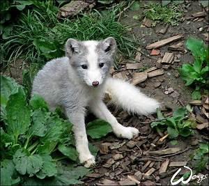 baby arctic fox | Becca's stuff | Pinterest
