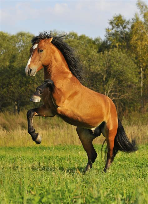 mustang horse stallion horses breed bay breeds wild mustangs play music grass autumn herd types horseclicks happens agricultural field female