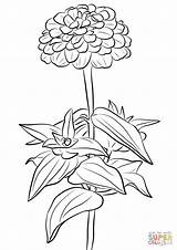 Zinnia Coloring Ausmalbilder Elegant Printable Kolorowanki Kwiaty Cynni Dzieci Dla Supercoloring Sunflower Sheets Sketch Poppy Coloriages Template sketch template