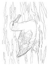 Albatross Coloring Pages Birds sketch template