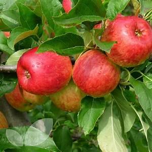 Apple Ambassy Fruit Trees For Sale