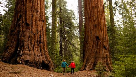 walking  giants  sequoia national park california