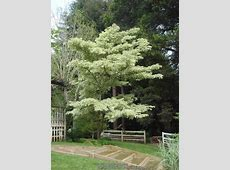 Photo of the entire plant of Variegated Giant Dogwood