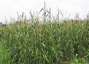 Crop Production::Forage Crops::Fodder Cumbu