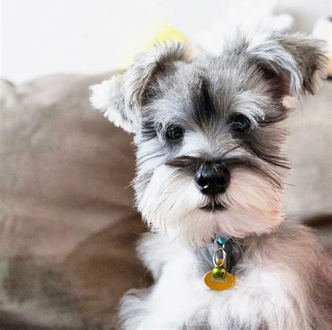 Schnauzer Shed by No Shed Schnauzer Puppy Animals Pets Perros