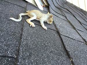 squirrel roofing With mice in between floors