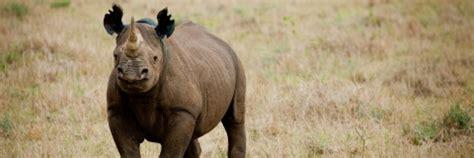le rhinoceros noir en peril wwf