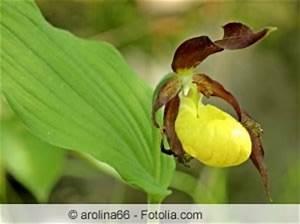Orchideen Schneiden Video : frauenschuh orchidee paphiopedilum arten und pflege ~ Frokenaadalensverden.com Haus und Dekorationen