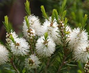Tea Tree Essential Oil – Dudu Osum