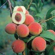 White Champion Peach Tree