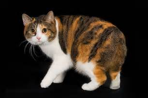 manx cats for manx cat purrfect cat breeds