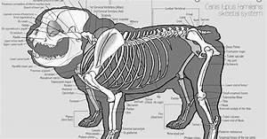 Chris Roman  English Bulldog Anatomy Study