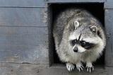 'Trash Panda' raccoon meme on Reddit explained - Business ...