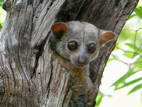 Milne Edwards' sportive lemur Wikipedia