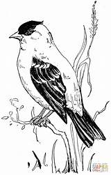 Goldfinch Coloring Pages American Colouring Bird Printable Supercoloring Finch Drawing Shrike Yellow Drawings Books Patterns Clipart Flowers Craft Silhouettes Animals sketch template