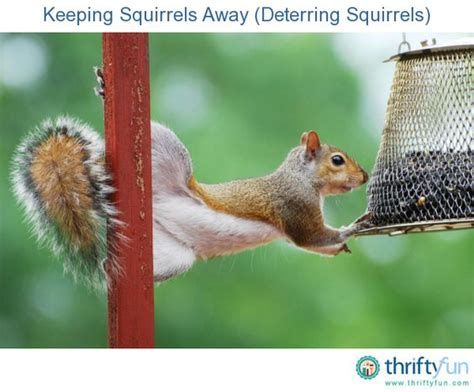 keeping squirrels away from bulbs pinterest the world s catalog of ideas