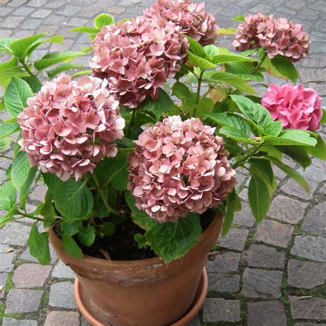 growing hydrangeas in pots growing tips advice