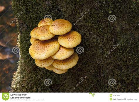 mushrooms growing  tree trunk royalty  stock image