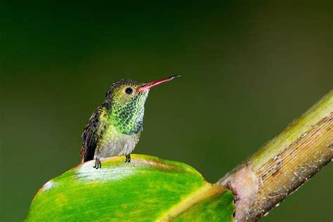 rio santiago hummingbirds stephen l tabone nature