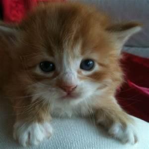 Orange And White Fluffy Cat | www.imgkid.com - The Image ...