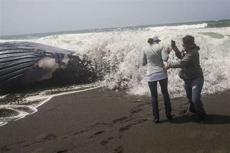 Biologists try to figure out Northern California whale deaths