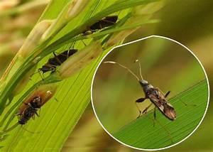 Diagram Of Rice Bug