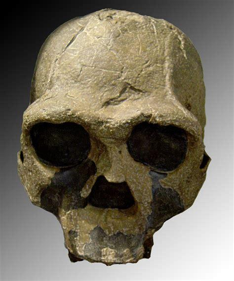 Homo Ergaster Wikipedia