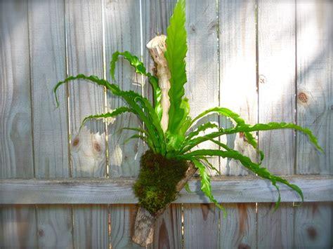 felci  appartamento piante da interno felci