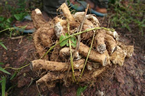 wild yam root ucan