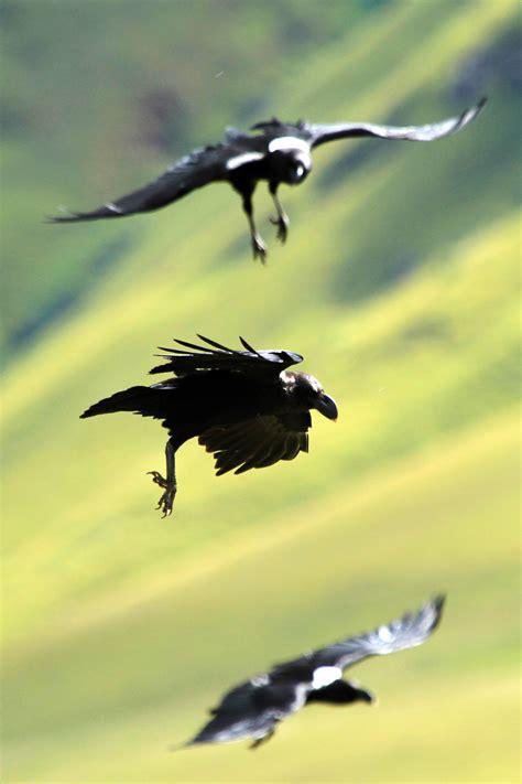 white necked raven bird wildlife photography