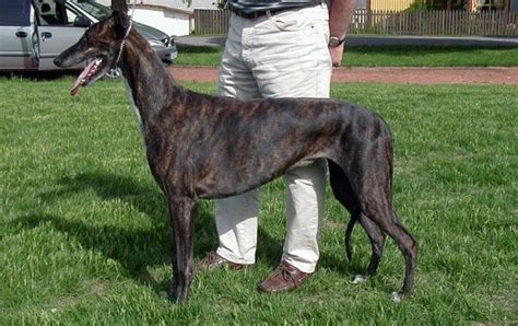greyhounds are a mid large sized dog breed that don t shed
