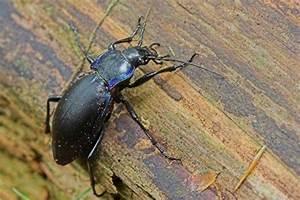 Käfer In Der Wohnung Bestimmen : schwarze k fer im garten zuhause image idee ~ Eleganceandgraceweddings.com Haus und Dekorationen