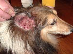 allergy earrings yeast infection in dogs ears dog ear yeast infection
