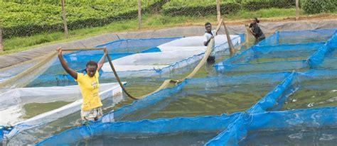 fish feed trials underway  western kenya latest news