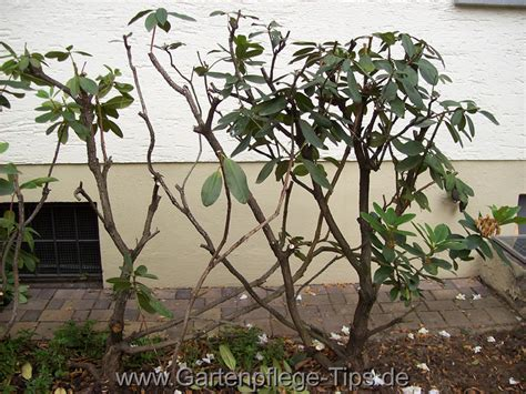 Magnolie Radikal Schneiden by Wann Schneidet Rhododendron Wann Rhododendron