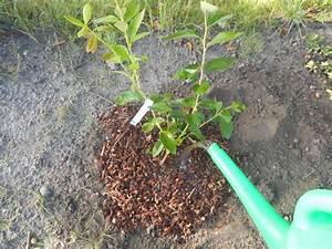 Heidelbeeren Pflanzen Zeitpunkt : heidelbeeren anpflanzen giessen ~ Orissabook.com Haus und Dekorationen