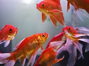 Feng Shui Fish for Wealth - All About the Feng Shui Aquarium