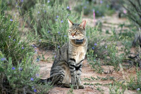 african wild cats animals interesting facts latest
