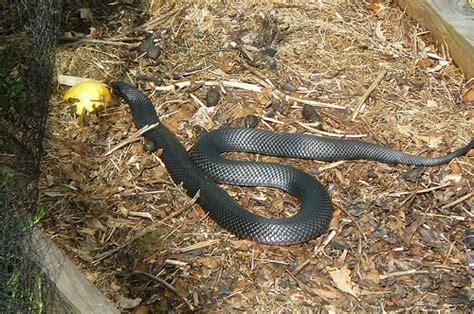 black garden snake in my garden this morning bellied black snake merimb