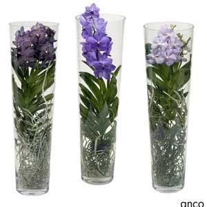 orchid 233 e vanda black en vase moneden