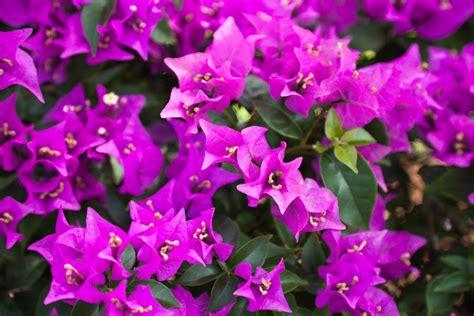 vibrant bougainvillea colors to brighten up your dormant arena